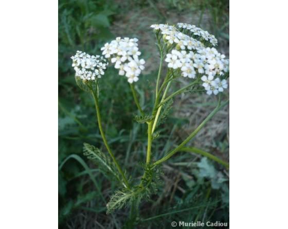 achillee-millefeuille-achillea-millefolium-culture-plant